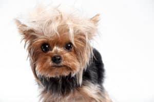 entretenir un yorkshire-terrier
