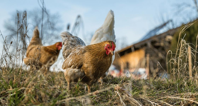 Comment élever des poules à la maison